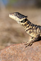 Sungazer lizard looking up