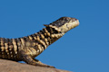 Sungazer Lizard